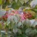 Waxwing in the Berries