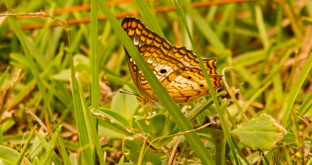 Butterfly in the Grass! by rickster549
