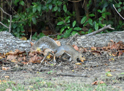 9th Oct 2019 - Nothing to see here, just hiding an acorn