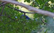 9th Oct 2019 - Shy Blue Jay