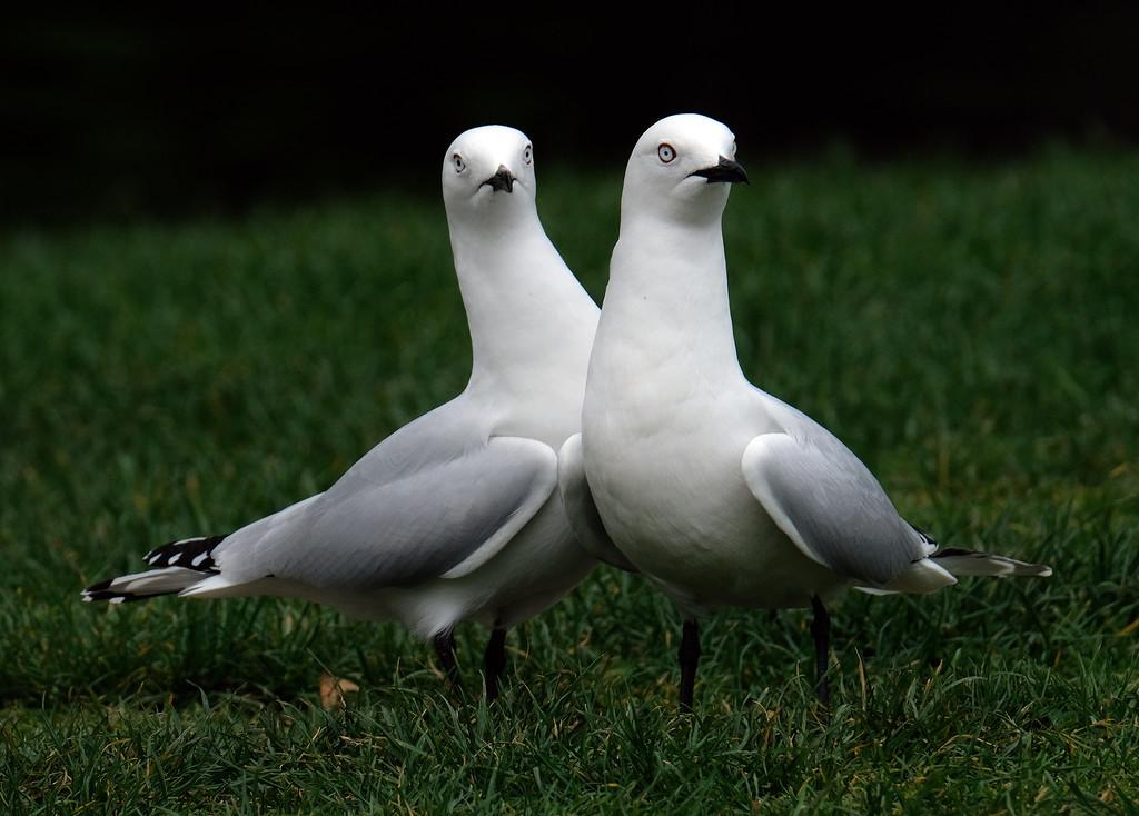 Black billed gulls by maureenpp