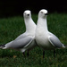 Black billed gulls by maureenpp