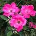 Roses at Hampton Park Garden.