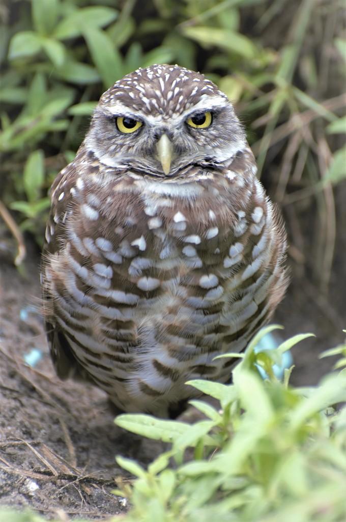 Burrowing Owl by chejja