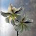Alpine gladioli by maureenpp