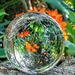 Clivia in the Lensball