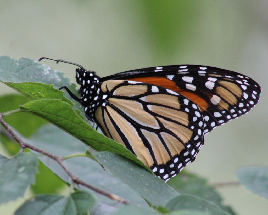 Resting Monarch by cjwhite