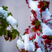 Clove Currant in snow