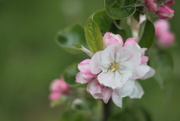 11th Oct 2019 - Apple Tree Blossoms