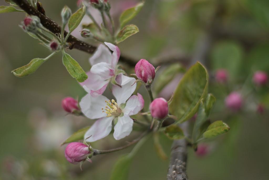 Apple Tree Bloom by kgolab