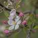 Apple Tree Bloom