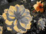 9th Oct 2019 - The dahlias from Enghien (2)