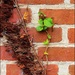 A Vine on the Chimney