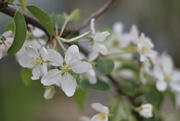 12th Oct 2019 - Apple Blossoms
