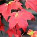 Y10 M10 D283 Brighter Sugar Maple Leaves