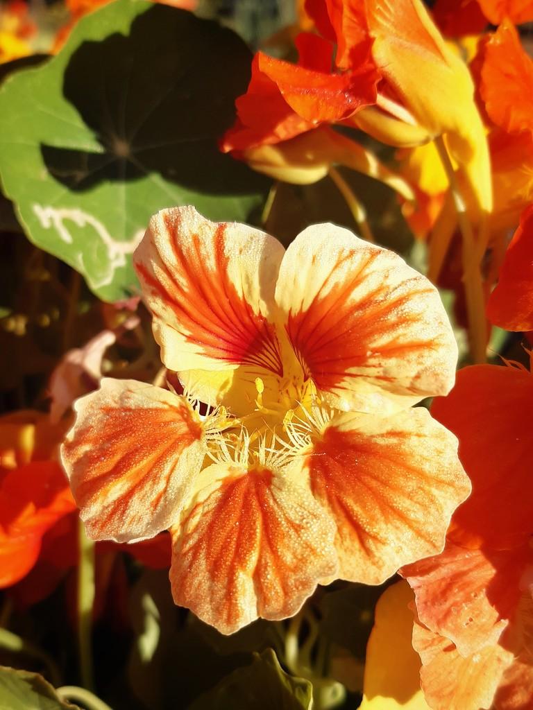 Orange beauty by salza