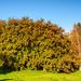 Big rowan-berry tree