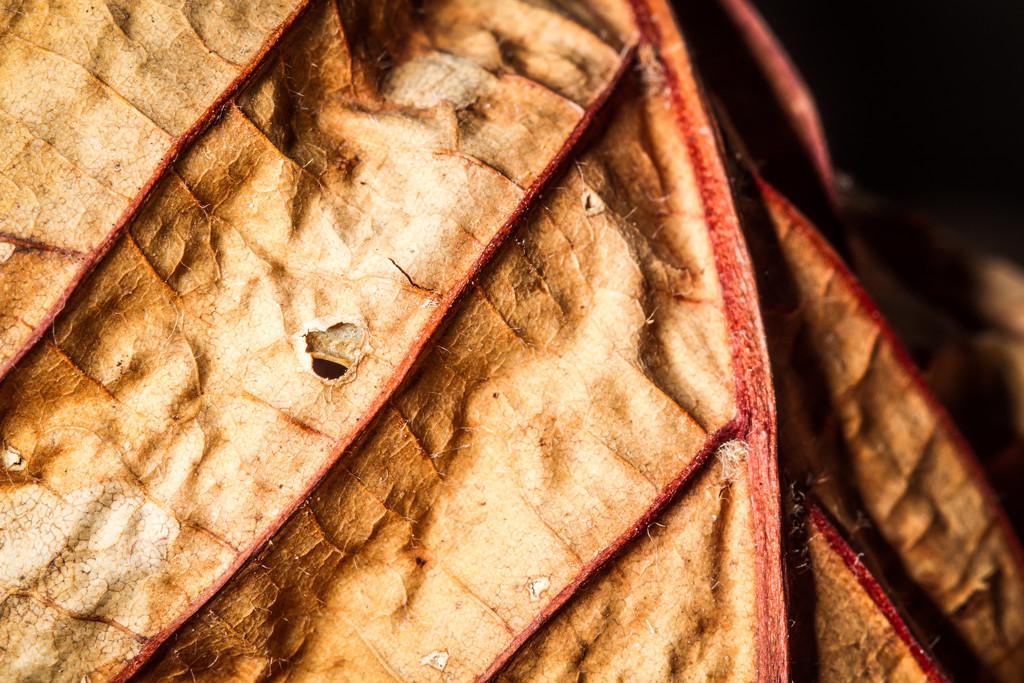 Old Leaf by humphreyhippo