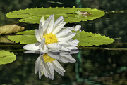 11th Oct 2019 - White Water Lily & Frog