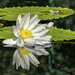 White Water Lily & Frog by kvphoto