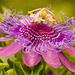 A Fresh Passion Flower!