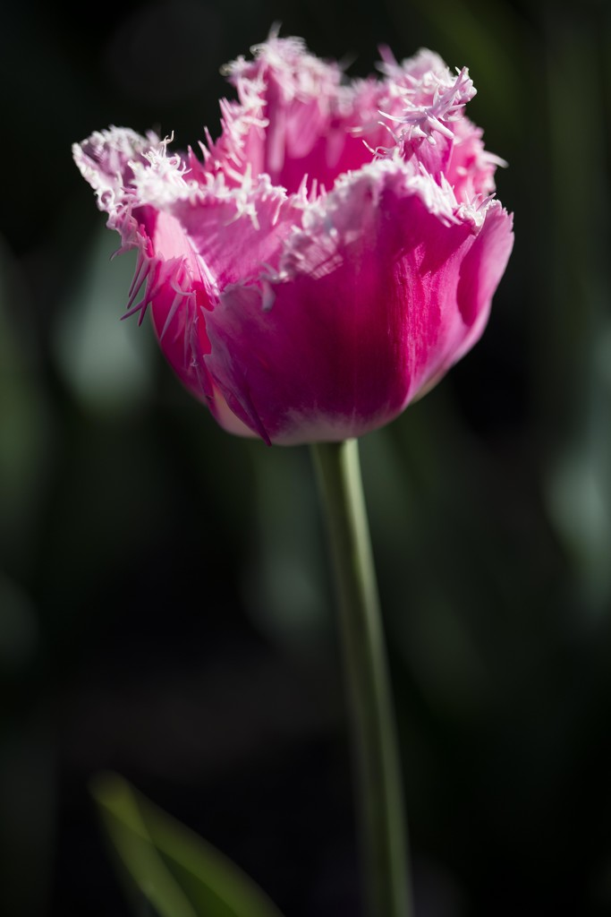 Pink Tulip by nicolecampbell