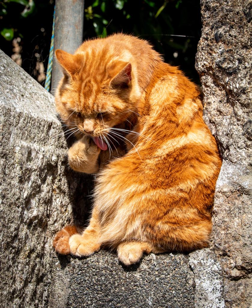 Ginger Tom by swillinbillyflynn