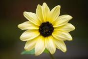 10th Oct 2019 - Final Sunflowers