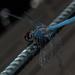 Blue dragonfly by mv_wolfie