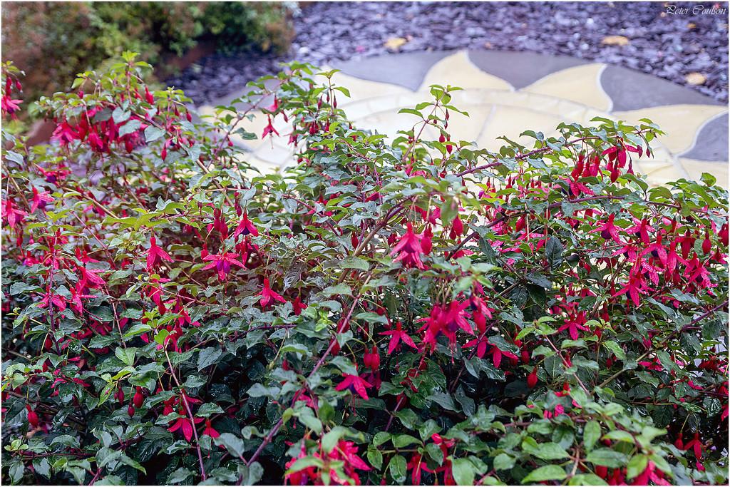 Wet Fuchsia by pcoulson