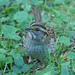 Drab White-throated Sparrow