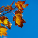 Blue Skies and Golden Leaves