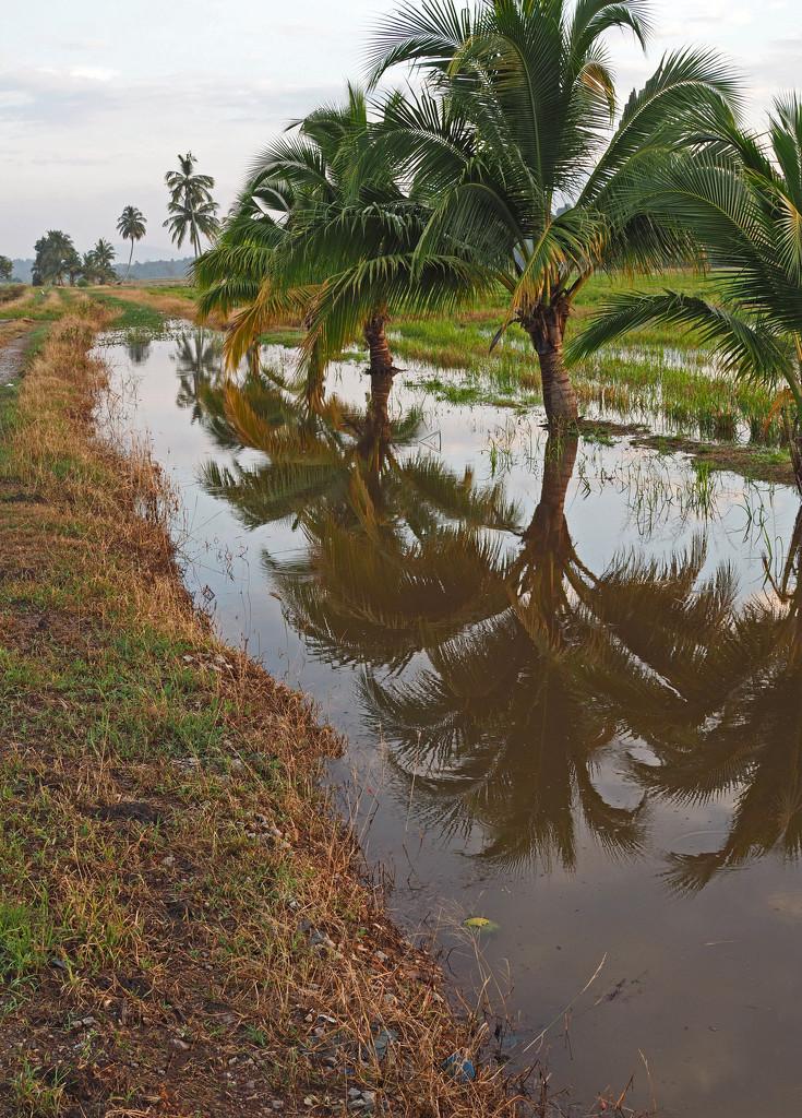 Coconut Palms reflections by ianjb21