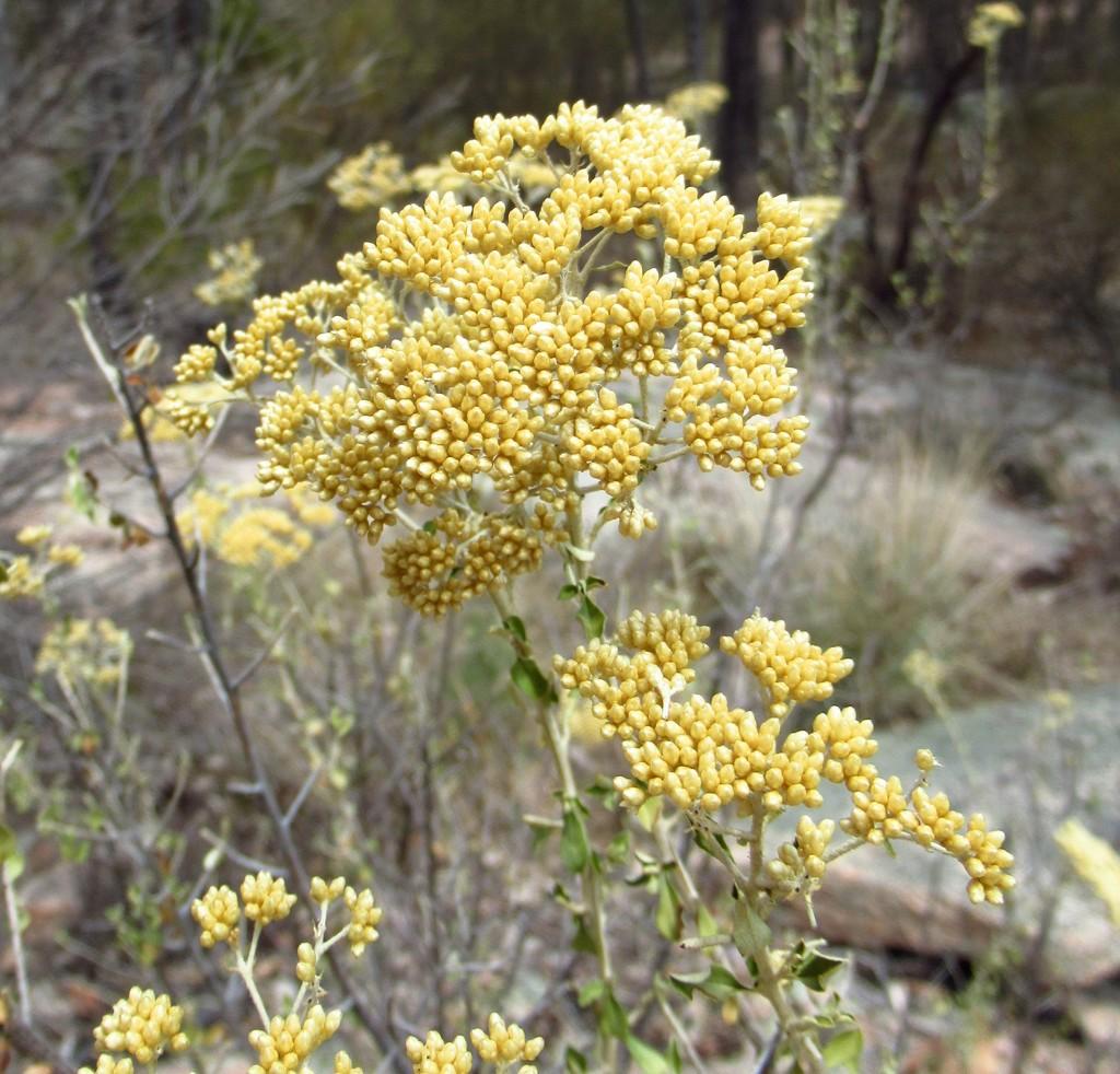 Aussie native plant #4 by robz