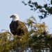 The Bald Eagle Was Back!