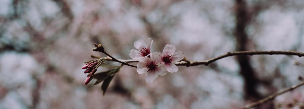 Cherry blossom by brigette