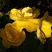 9th Oct yellow begonia