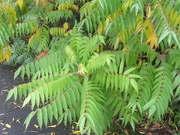 14th Oct 2019 - Branches of the Paradise Tree. Rishton.