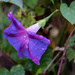 Rainy day morning glory