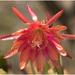 Mancherie Epiphyllum flower
