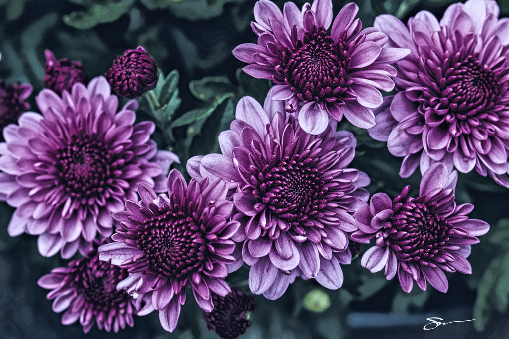 Mums Galore by skipt07