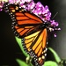 Why I've Pampered My Butterfly Bush
