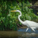 great white crane by samae