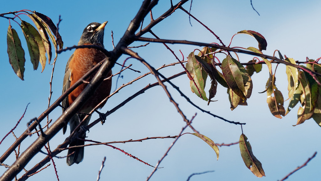 american robin by rminer