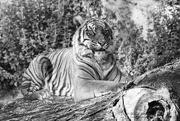 15th Oct 2019 - Panthera tigris tigris