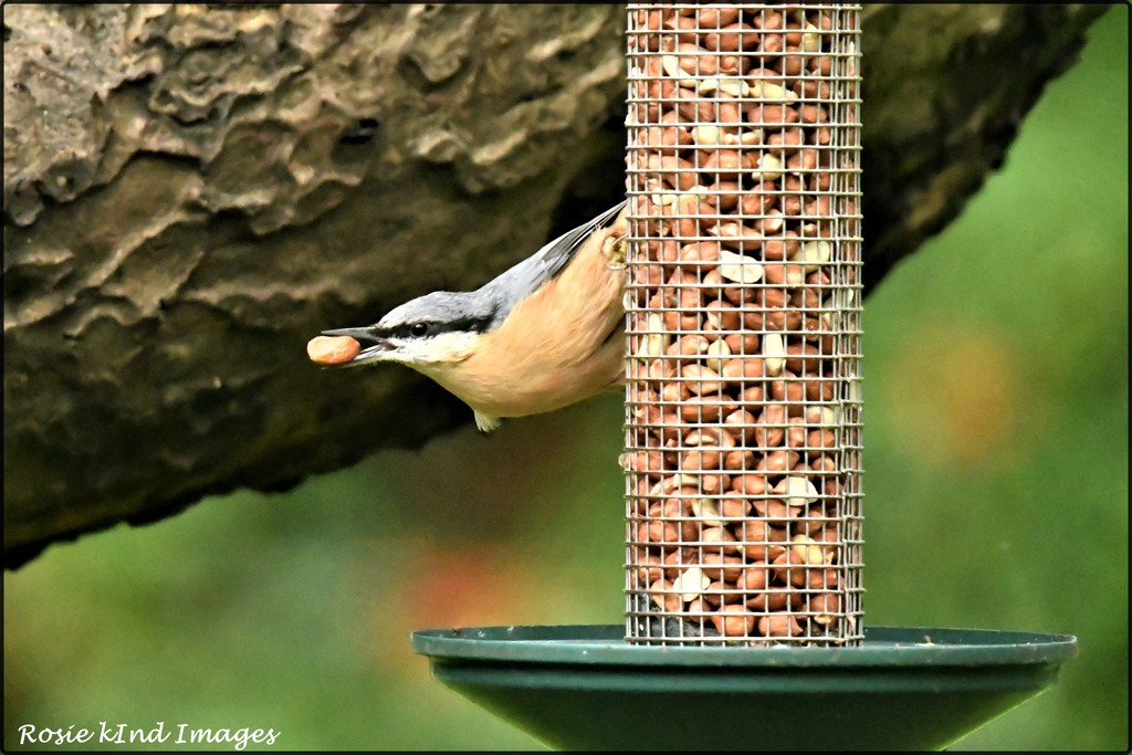 RK3_2729 This is why I am called a nuthatch by rosiekind