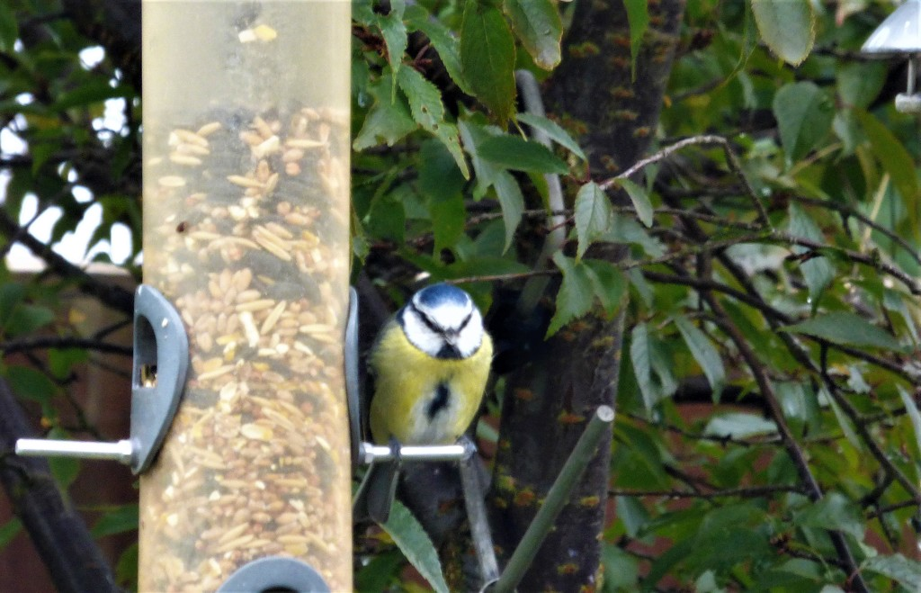 The blue-tits are back in the garden  by beryl