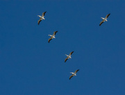 15th Oct 2019 - The pelicans are here !