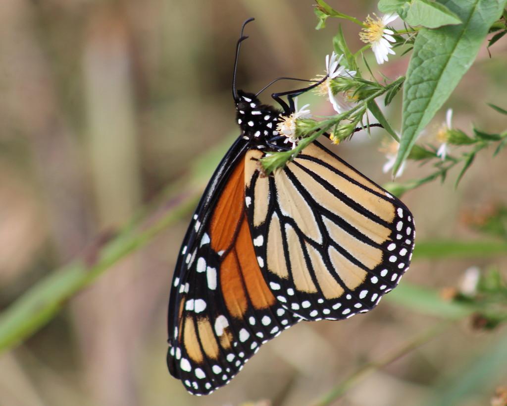Monarch Beauty by cjwhite