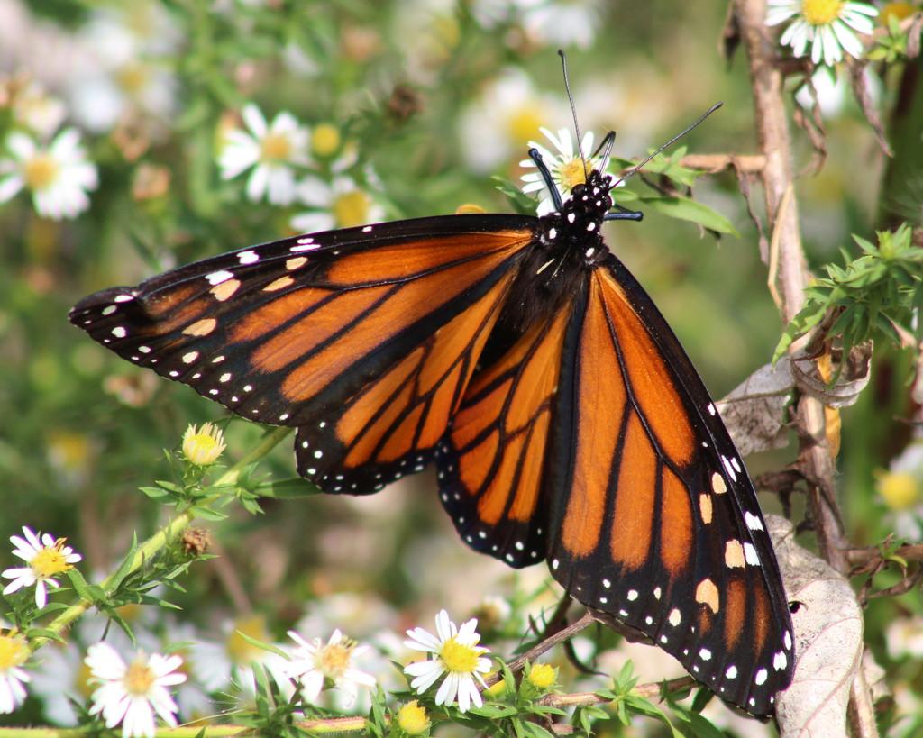 My Monarch Friend by cjwhite